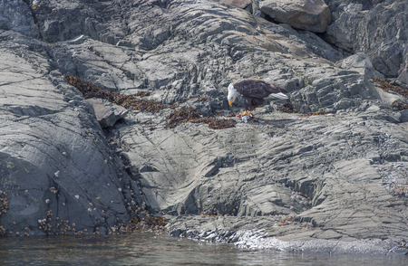 haliaeetus: Bald eagle with a fresh Chinook Salmon on a rocky island at Johnston Strait, Vancouver Island, British Columbia, Canada