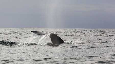 gray whale: Tail fin of a gray whale Stock Photo