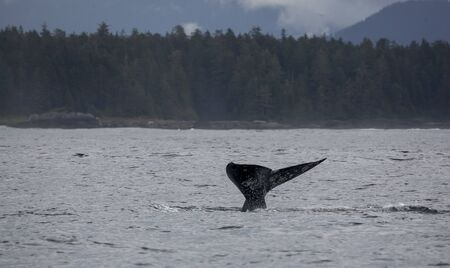 gray whale: Tail fin of a gray whale before coast of Vancouver Island in the Pacific Ocean