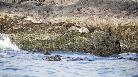 Camouflaged harbor seals resting on a rocky island