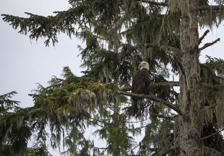 Bald Eagle perched on a tree