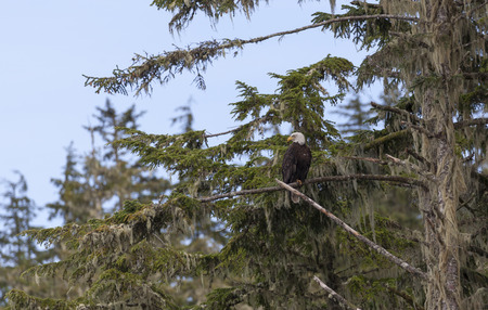 perched: Bald Eagle perched on a tree