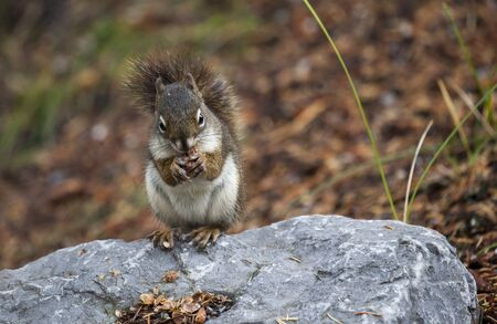Squirrel eating pine-nuts
