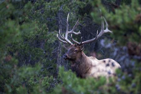 Antlered wild bull elk during rutting season