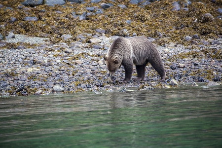 Grizzly Bear searching for food at the coastline
