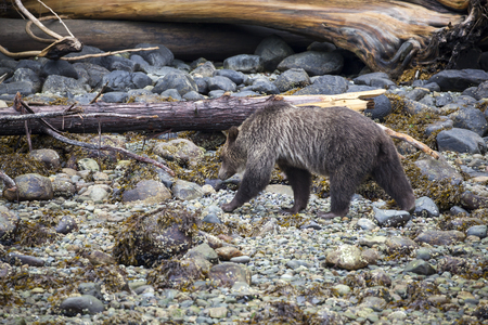 Grizzly Bear searching for food at the coast line of Knight Inlet, British Columbia, Canada