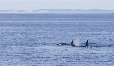 Orca pod traveling through the waters of Vancouver Island