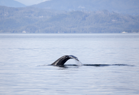 Humpback whale tail Stock Photo