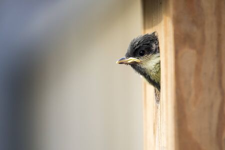Great tit chick looks curiously out of the nest box