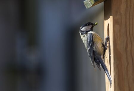Great tit arriving to feed chicks in nesting box
