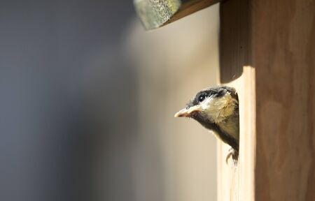 Great tit chick leaving nesting box 版權商用圖片