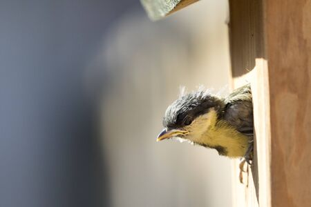 Great tit chick leaving nesting box