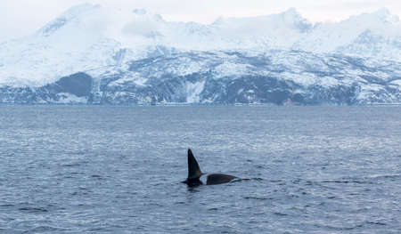 Orca in the clear waters of the Northern Norwegian fjords