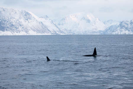 Two Killer Whales in the clear waters of the Northern Norwegian fjords