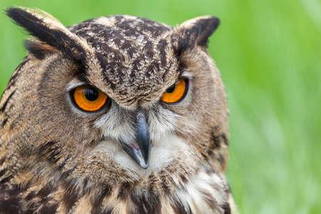beautiful Eurasian eagle-owl (bubo bubo) Stock fotó