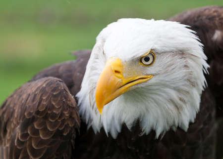 Portrait of a beautiful Bald Eagle Stock Photo