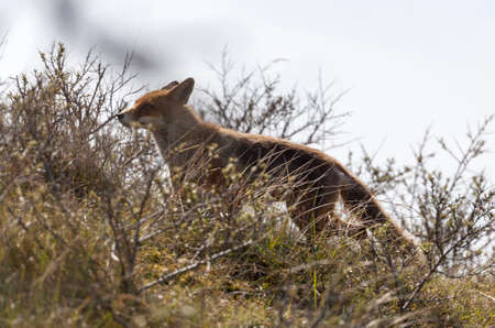 Red fox in the dunes Stock Photo