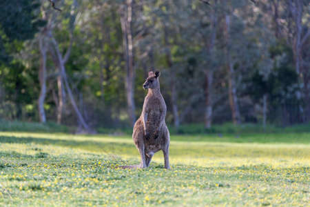 Eastern Grey kangaroo standing in a meadow with flowers