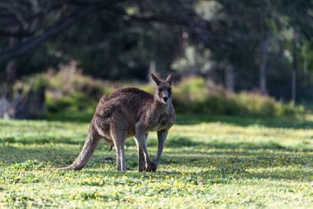 Eastern Grey kangaroo in a meadow with flowers