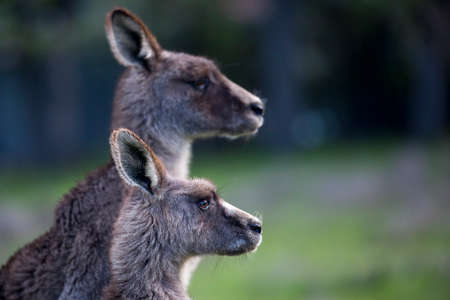 Portrait of two Eastern Grey kangaroos