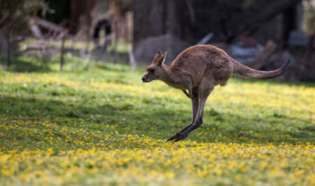 Jumping Kangaroo at a meadow with yellow flowers Banco de Imagens