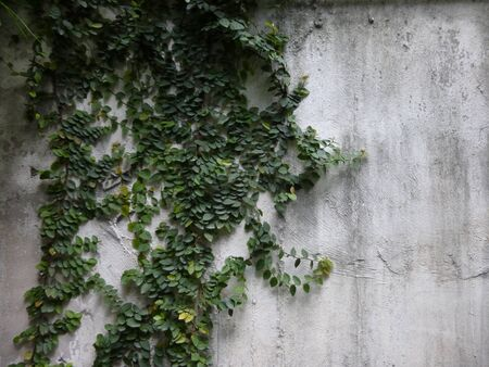 ivy wall: Ivy on concrete wall