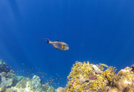 sohal: Sohal surgeonfish on a background of blue water. Red Sea