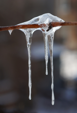 glisten: shiny icicles on a branch of the vine
