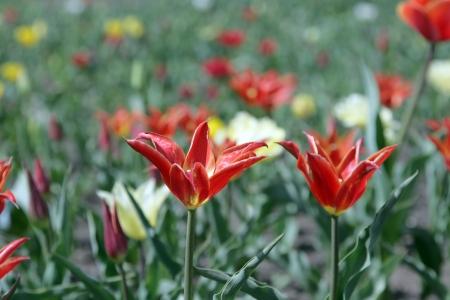 superacion personal: Campo de tulipanes contra el cielo azul