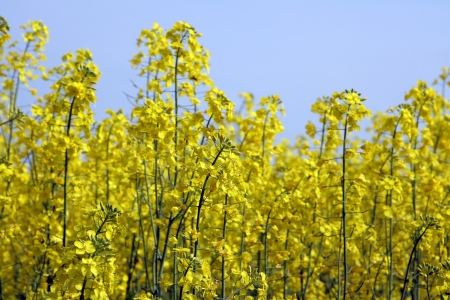 ecodiesel: Blooming canola fields with a hedge in between