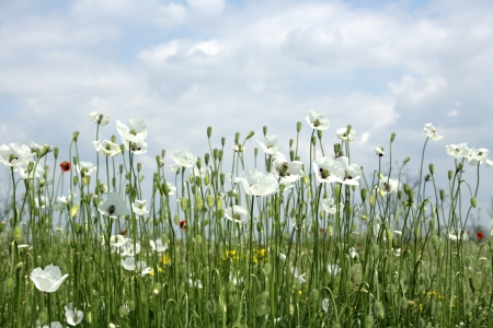 white poppies on spring meadow and strongly polarized blue sky.
