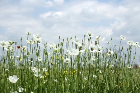 stark: wei�e Mohnblumen auf Fr�hlingswiese und stark polarisierten blauen Himmel.
