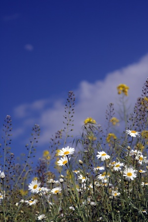 Field of camomiles against the solar blue sky Stock Photo