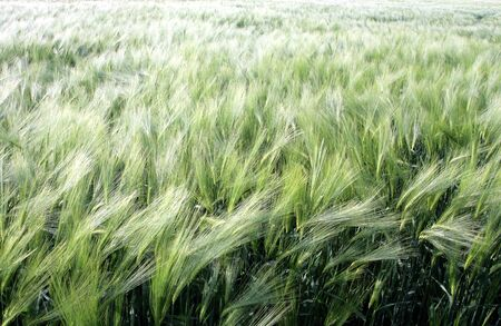 Wheaten field removed close up