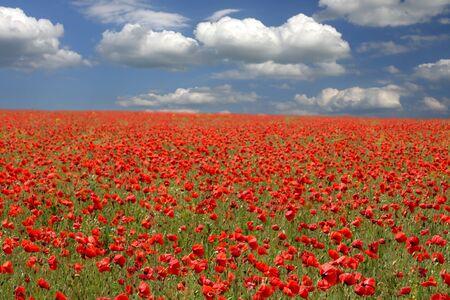 Rote Mohnblumen auf Fr�hlingswiese und stark polarisierten blauen Himmel.