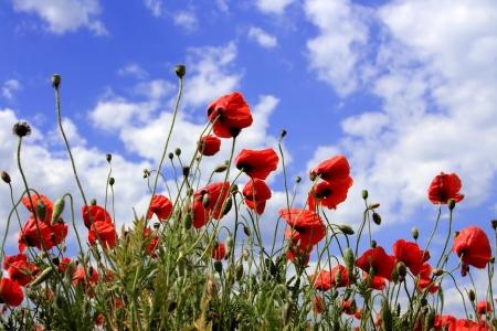 Bahar çayır ve güçlü polarize mavi gökyüzü kırmızı gelincikler. Stock Photo