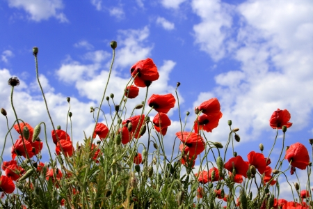 Rote Mohnblumen auf Frühlingswiese und stark polarisierten blauen Himmel.