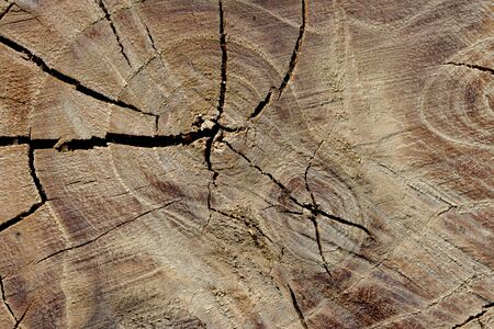 counted: Tree rings are counted to determine the age of a tree