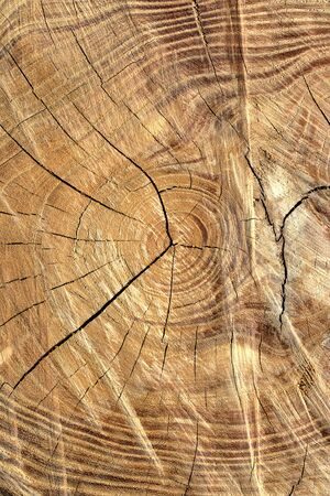 Tree rings are counted to determine the age of a tree