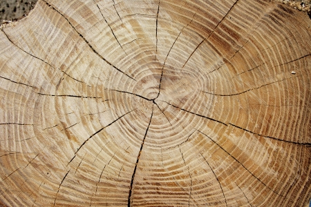 Baumringe gezählt, um das Alter eines Baumes zu bestimmen Lizenzfreie Bilder