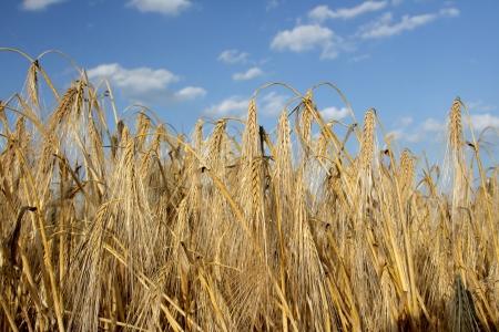 Kaldırıldı Buğday alan yukariya