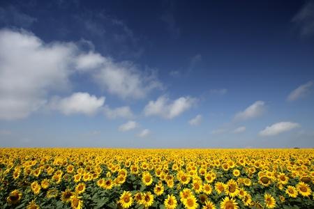 Sunflowers group on blue Sky photo