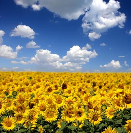 Sunflowers group on blue Sky