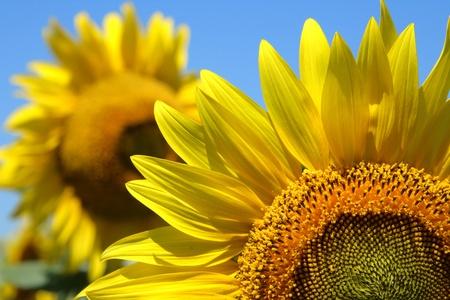 Isolierte Sonnenblume auf blauem Lizenzfreie Bilder