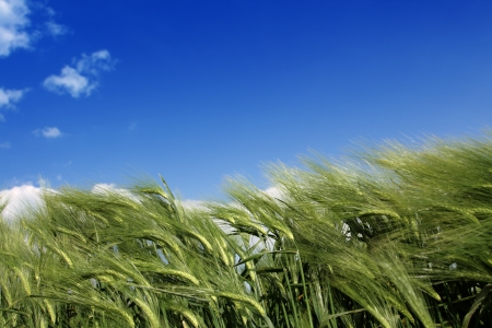 Wheaten field removed close up Stock Photo - 16027482