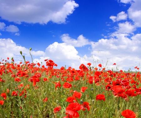 Rote Mohnblumen auf Frühlingswiese und stark polarisierten blauen Himmel