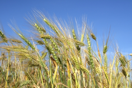 Wheaten field removed close up Stock Photo - 16765627