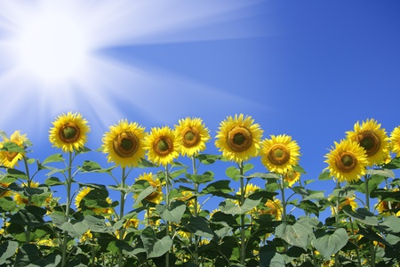 Sunflowers Gruppe auf blauem Himmel