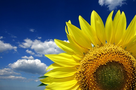Single Sunflower on blue Sky photo