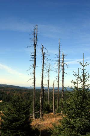 brocken: The dried up pines on a grief Brocken